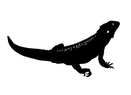 herpetology: Black and white illustration of a bearded dragon or beardie Illustration