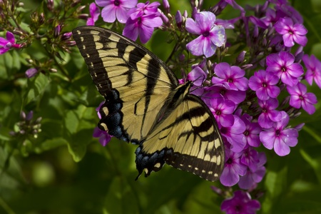 Eastern tiger swallowtail butterfly on flowers  photo