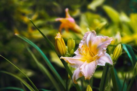 creamy: Creamy lily macro