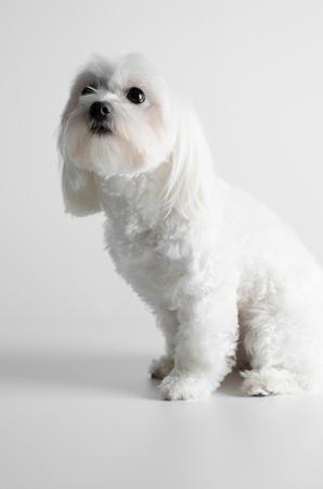 Maltese dog on a white background.