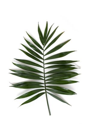 Palm leaf isolated on a white background.