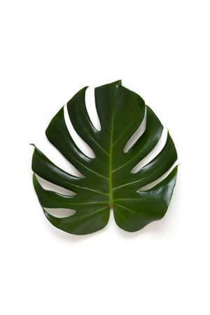 Monstera leaf isolated on a white background. 写真素材