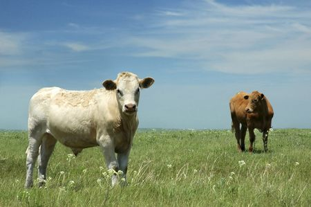 Cows in lush pasture in Kansas. Stock Photo