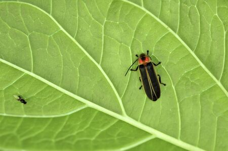 Firefly clinging to the underside of a leaf.