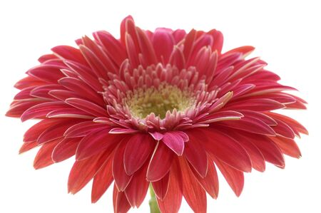 gebera: Macro of a gerber daisy isolated against a white background.