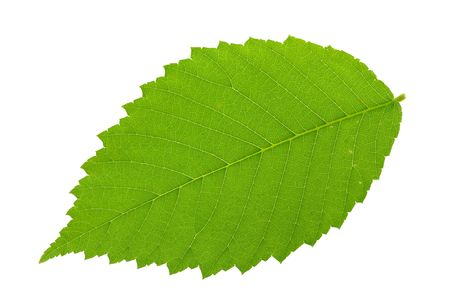 Elm leaf isolated against a white background.