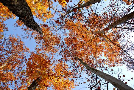 treetops: Looking up towards the top of autumn sycamore treetops. Stock Photo