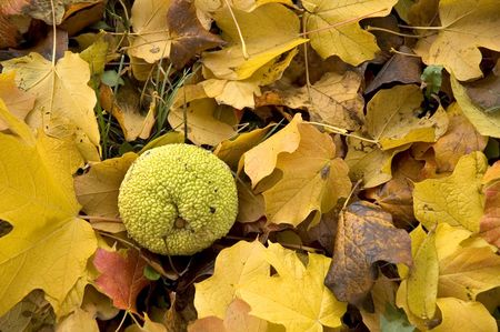 hedgeapple: Hedgeapple fruit laying on a colorful bed of autumn maple leaves.