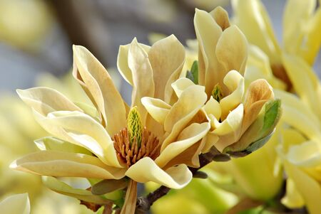 magnolia tree: Yellow magnolia blossoms also known as