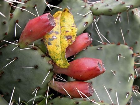 spines: Prickly pear cactus with autumn leaf resting on spines.