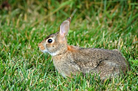 watchful: Watchful rabbit on a lawn.