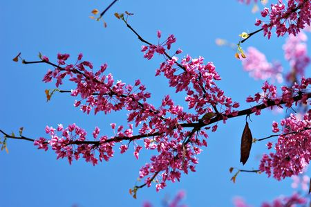 redbud tree: Redbud tree blossoms against a brilliant blue sky.