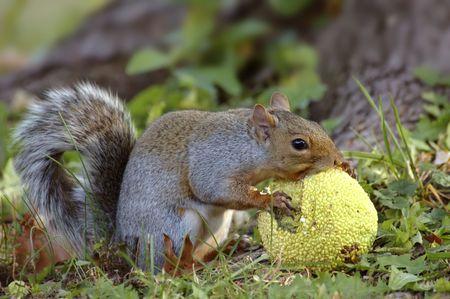 hedgeapple: Eastern grey squirrel eating a hedgeapple.
