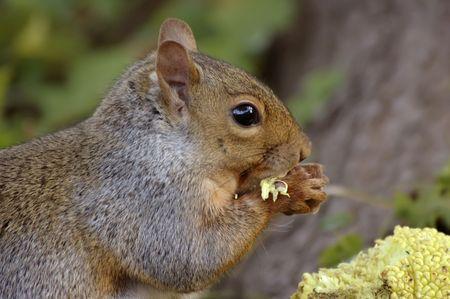 hedgeapple: Closeup of Eastern grey squirrel eating hedgeapple.