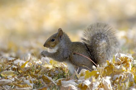 hedgeapple: Eastern grey squirrel feeding in the midst of yellow autumn leaves.