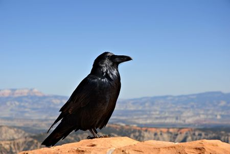 handout: A crow sitting on a rock wall hoping for a handout at Capitol Reef National Park, Utah. Stock Photo