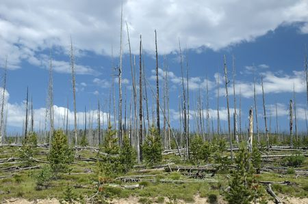 renewal: Forest renewal after the 1988 fires in Yellowstone National Park.