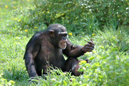 chimp: Chimp at the Kansas City Zoo playing with a stick.