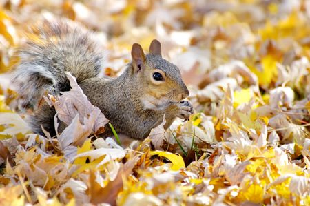 Grey squirrel in autumn leaves eating sunflower seed. Stock Photo