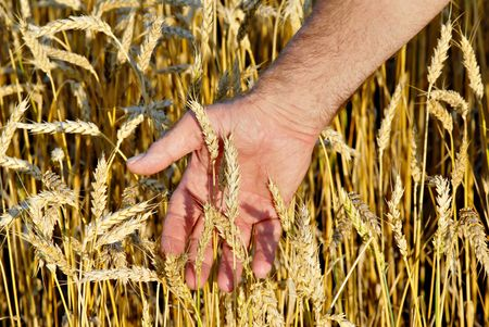 Closeup of hands inspecting a crop of wheat.