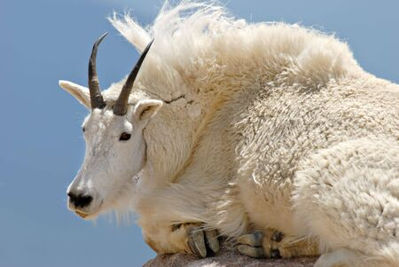 mount evans: A mountain goat resting on a rock at Mt. Evans in Colorado.