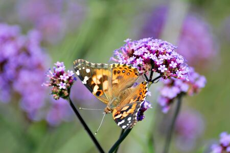 captured: Painted lady butterfly captured in the garden. Stock Photo