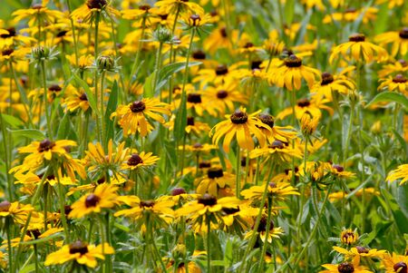 A field of pretty yellow daisy type flowers.  photo