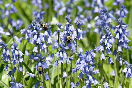 Small blue flowers with bees feeding on the blossoms. Stock Photo - 4918126