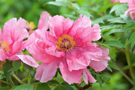 peony tree: Una peonia di albero rosa vivace. Archivio Fotografico