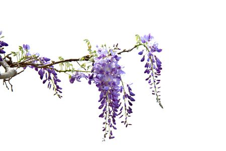 Hanging wisteria isolated on a white background.