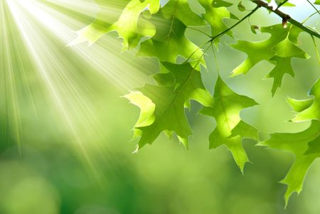 Background of oak leaves with sun rays on a beautiful green background.