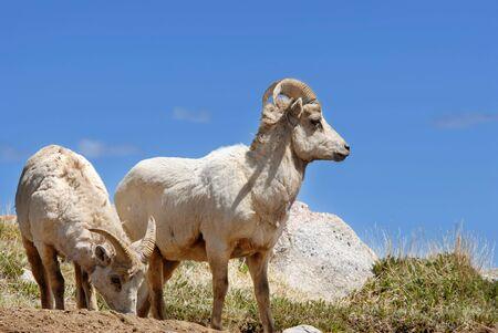 Rocky Mountain Bighorn Sheep at Mt. Evans, Colorado. photo