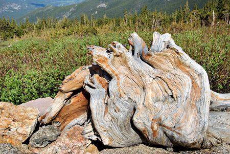 bristlecone: Wood of a bristlecone pine tree.