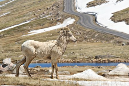 Rocky Mountain big horn sheep on tundra in Colorado. Road in background. photo