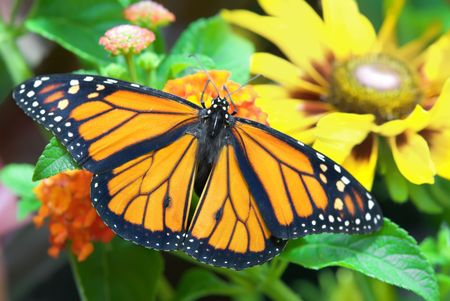 viceroy: Florida viceroy butterfly on orange flower blossoms. Stock Photo