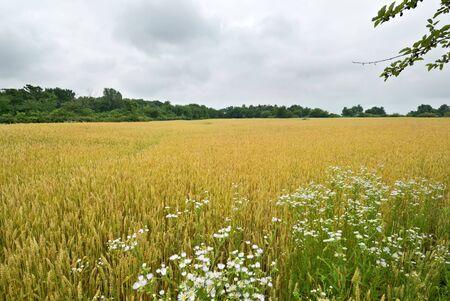 missouri: Missouri Wheat Field