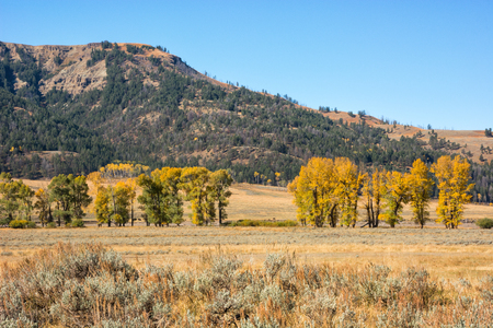cottonwood tree: Fall color at the Lamar Valley in Yellowstone National Park, Wyoming.