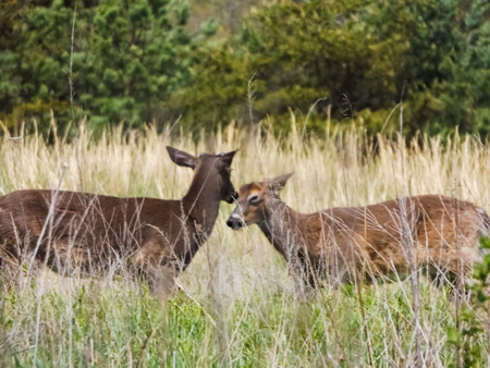 virginianus: Buck and Doe Stock Photo