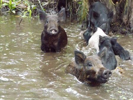 suid: Wild Boar Sus scrota Stock Photo