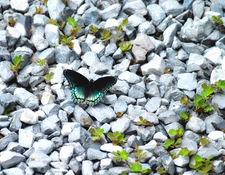 Red spotted purple admiral butterfly Limenitis arthemis on blue river rocks