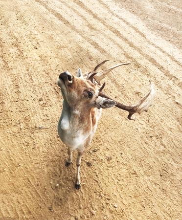 European Fallow deer buck