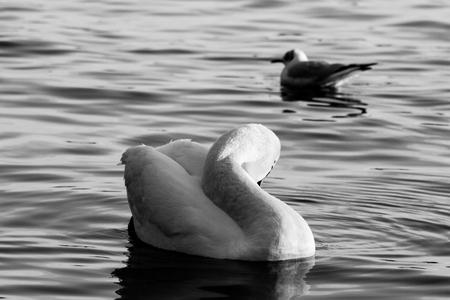 Ducks enjoying the water, black & white photo