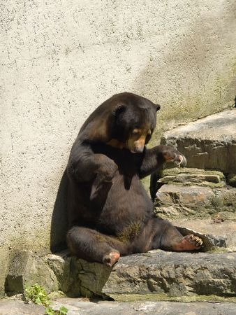 dullness: Bear in a zoo playing with his food.