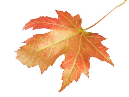 fallen leaves: Fallen maple leaf isolated on white