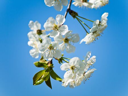 awaking: Cherry tree branch against sky