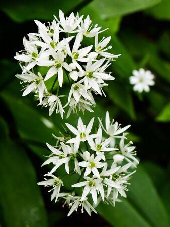 White flowers of wild garlic or ramsons (Allium Ursinum) photo