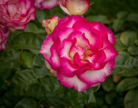 Pink and White Roses Banco de Imagens