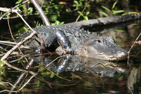 Alligator Mirror