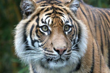 stare: Tiger Stare