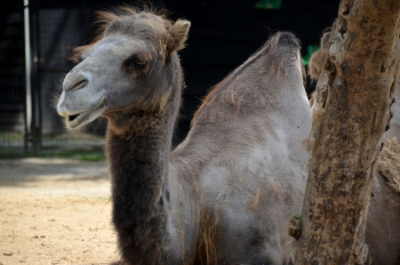 one humped: One-humped camel Stock Photo
